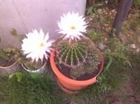 Pui de cactus