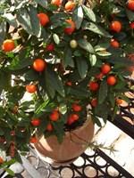 Seminte de Solanum 1