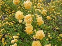 Lastar arbust Kerria Japonica