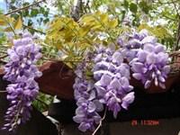 Glicina (Wisteria) planta (3)