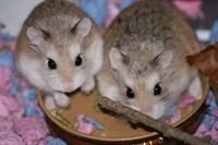 2 Hamsteri pitici