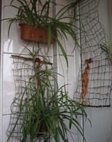 Ofer doi puiuti de planta curgatoare