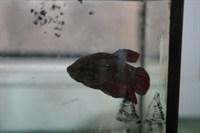 un pește betta