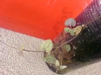 Ceropegia, planta curgatoare cu frunzulite mici