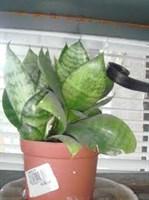 Pui mare de sanseveria, planta sabiuta