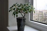 Planta suculenta copacel