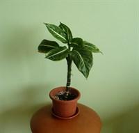 Dieffenbachia - planta decorativa prin frunzis