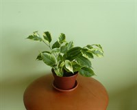 Ficus Benjamin variegat - planta decorativa prin frunzis