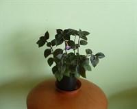 Doua plantute