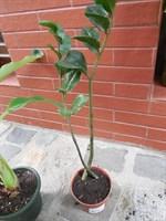 Planta - Zamioculcas zamiifolia