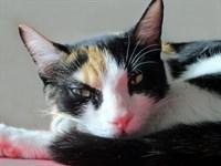 Donez pisicuta American Wirehair, 7 luni sterilizata