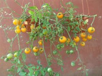chery de ghiveci semicurgatoare galbene - seminte