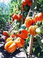 rosii gogosar - seminte (2)