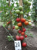 rosii dublu chery - seminte (1)