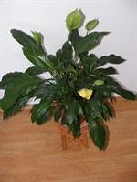 Planta ghiveci Cala (2)