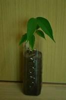 Planta Lychee 1