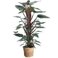 Pui de Philodendron-mandianum