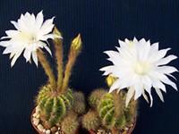 1 cactus sferic matur Echinopsis