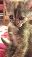 Adoptie pisica