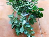 Planta kalanchoe