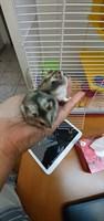 Ofer hamster sirian