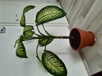 Planta Diffenbachia