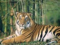 tigrysorul